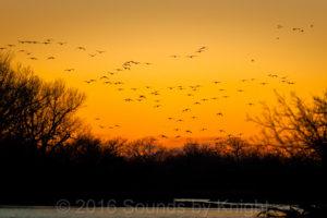 Sandhill Cranes - Wings over the Platte